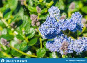 Blauwe bloesem2